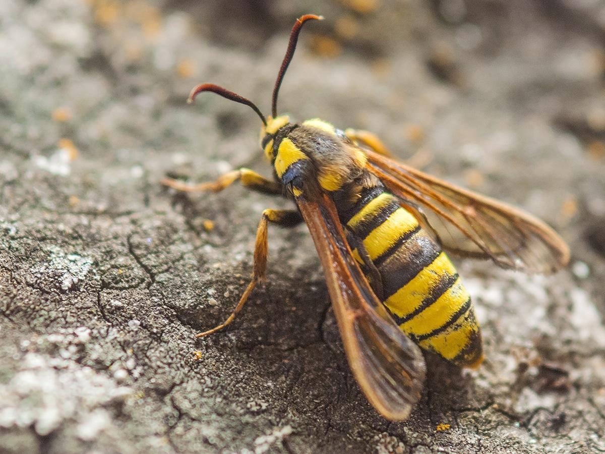 insecto parecido a la avispa