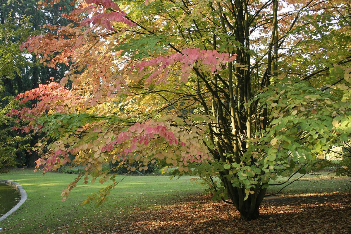 El katsura es un árbol que se pone rojo en otoño