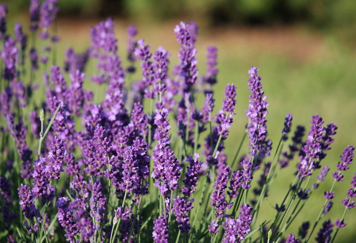 La lavanda es un subarbusto de flores púrpuras