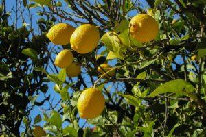El limonero suele dar muchos frutos
