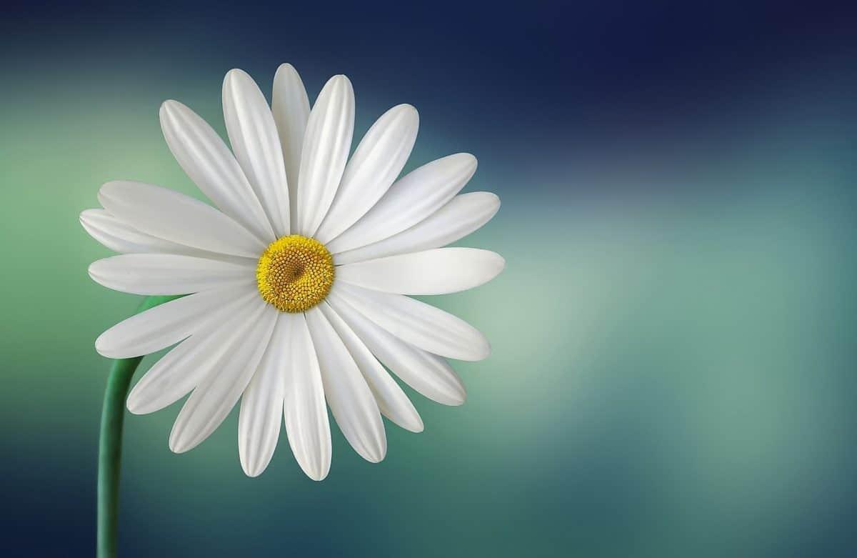 Las margaritas son flores blancas muy duraderas