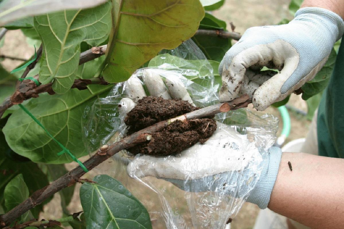 metodo de acodo de las ramas de un arbol
