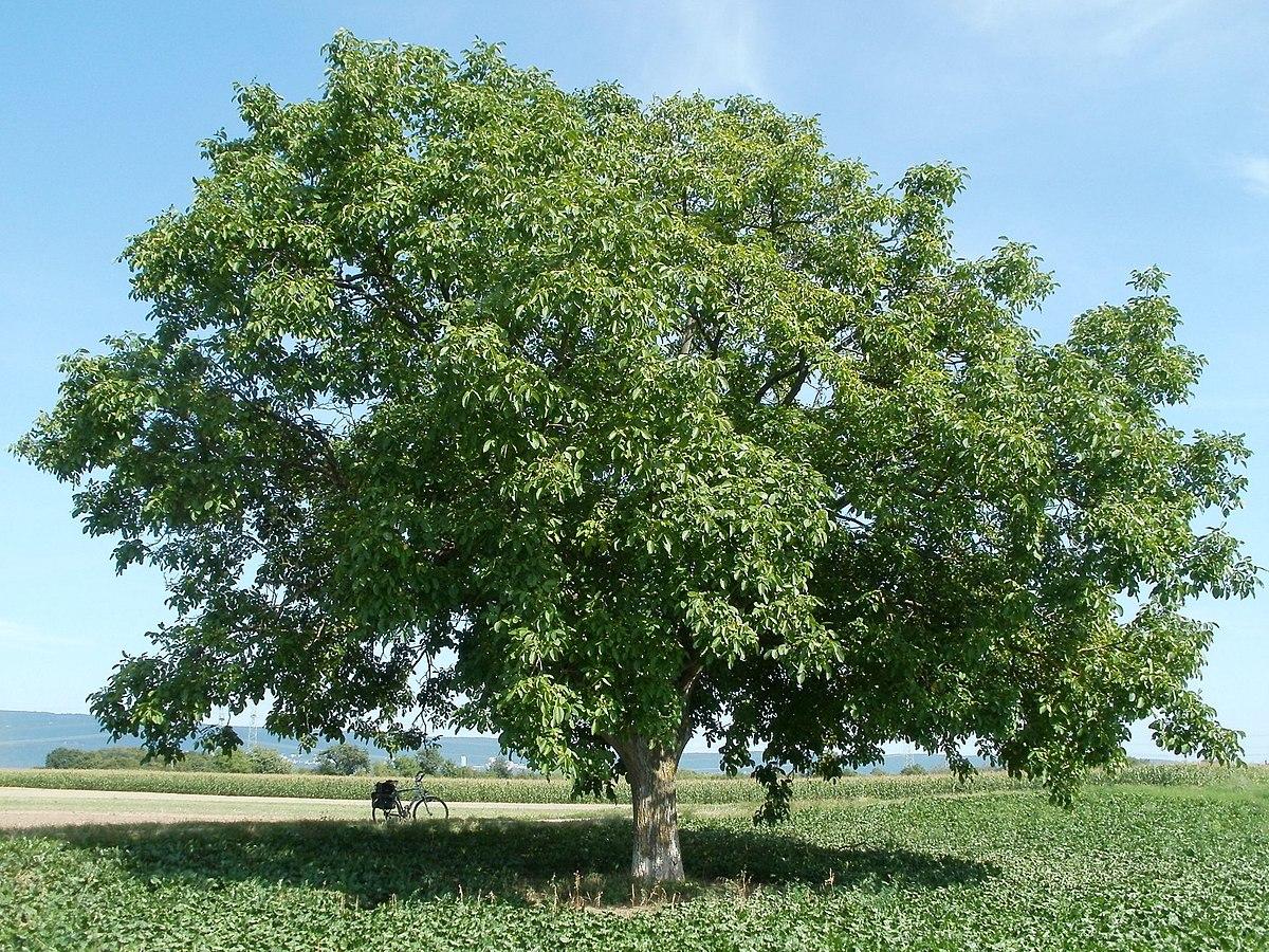 nogal, un árbol grande