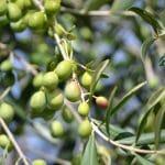 El olivo es un frutal resistente