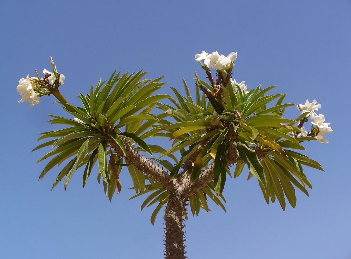 El Pachypodium lamerei es una planta arbustiva