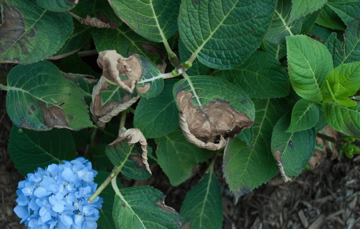 planta de la hortensia enferma