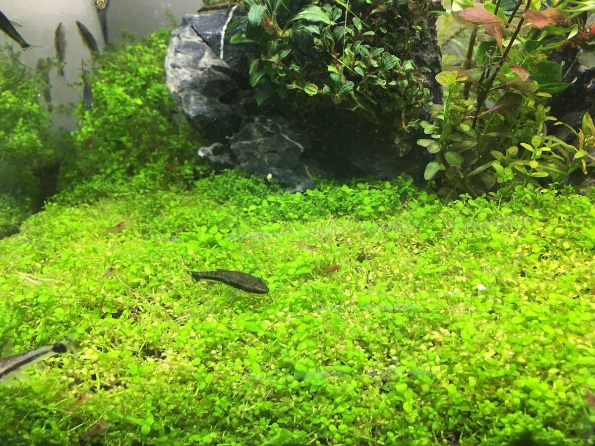 Las plantas tapizantes para acuario son muy interesantes