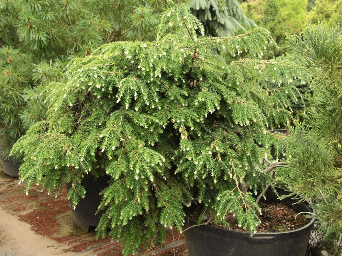 Tsuga canadensis plantada en maceta