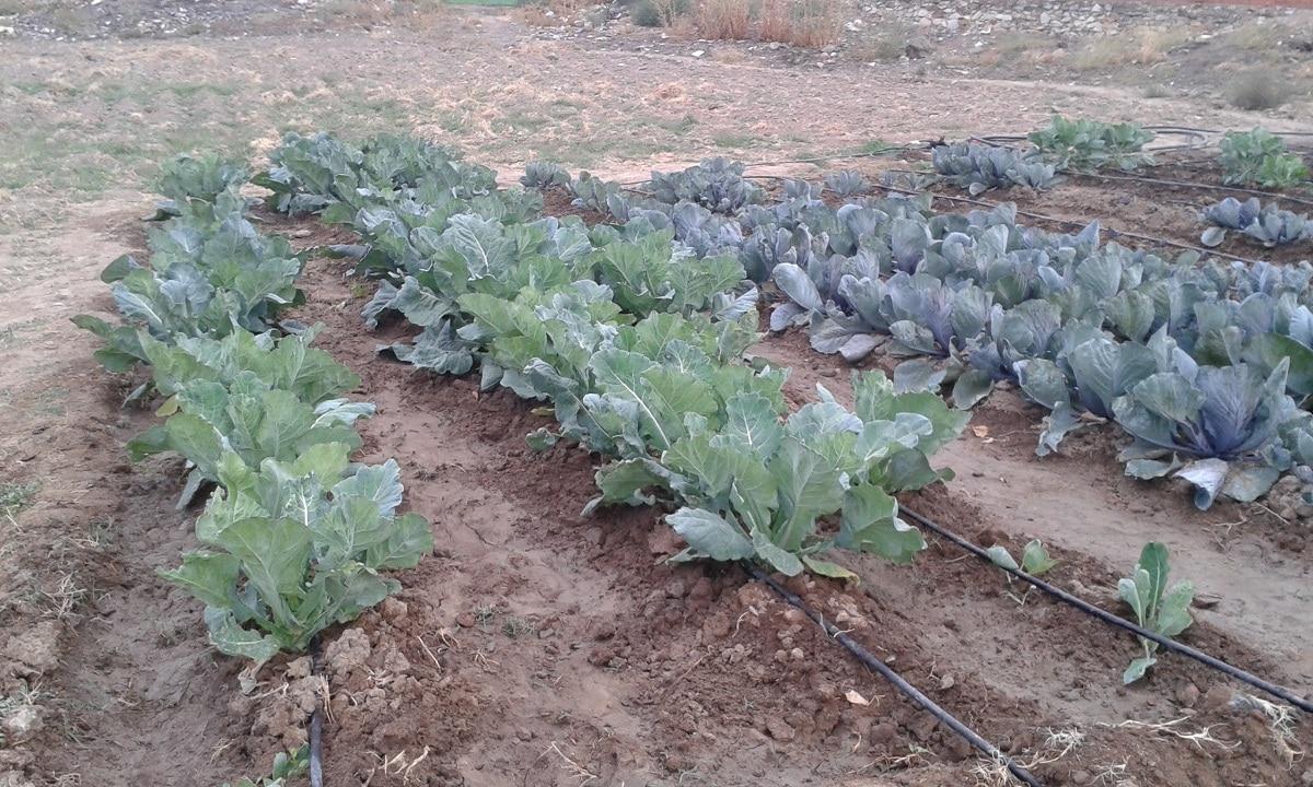 plantar brocoli