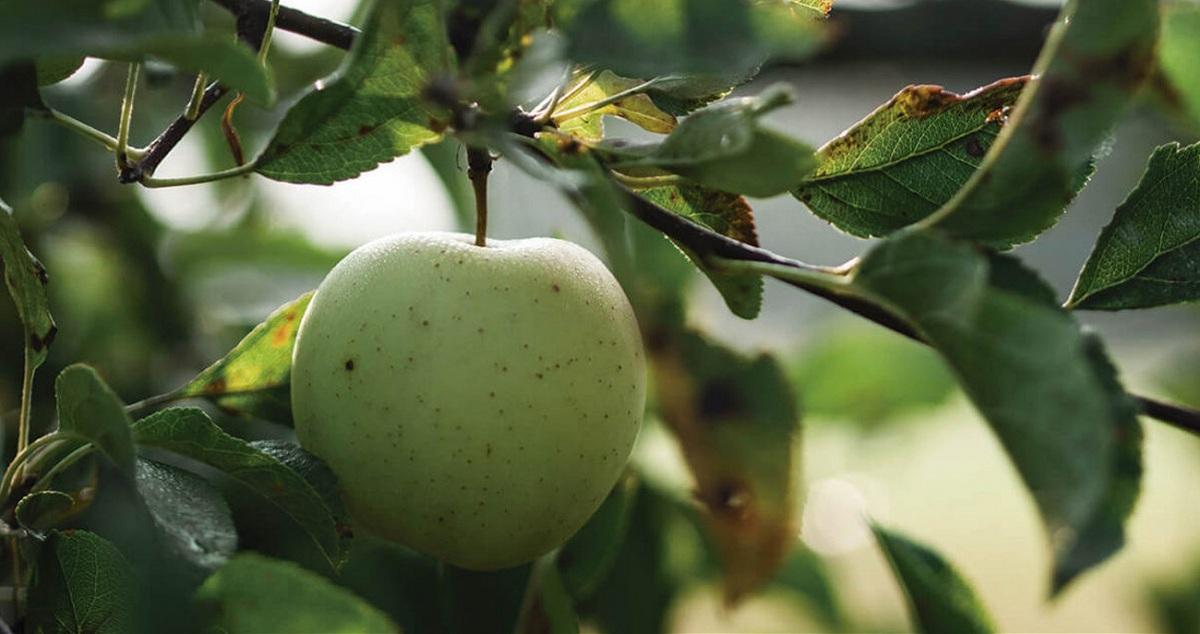 poda del manzano