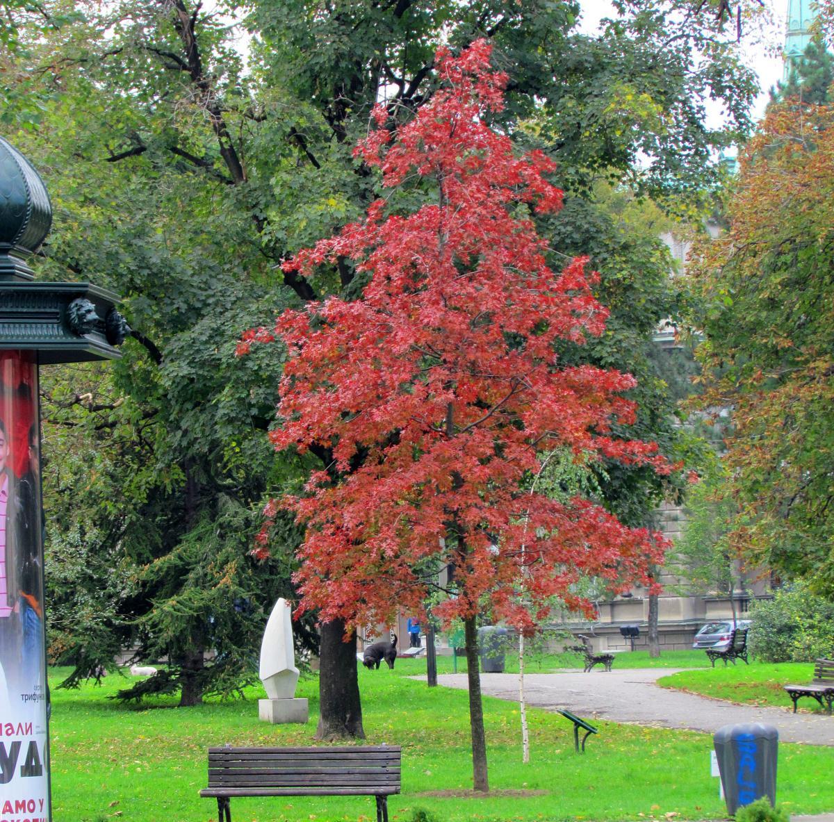 El roble de los pantanos se vuelve rojo en otoño