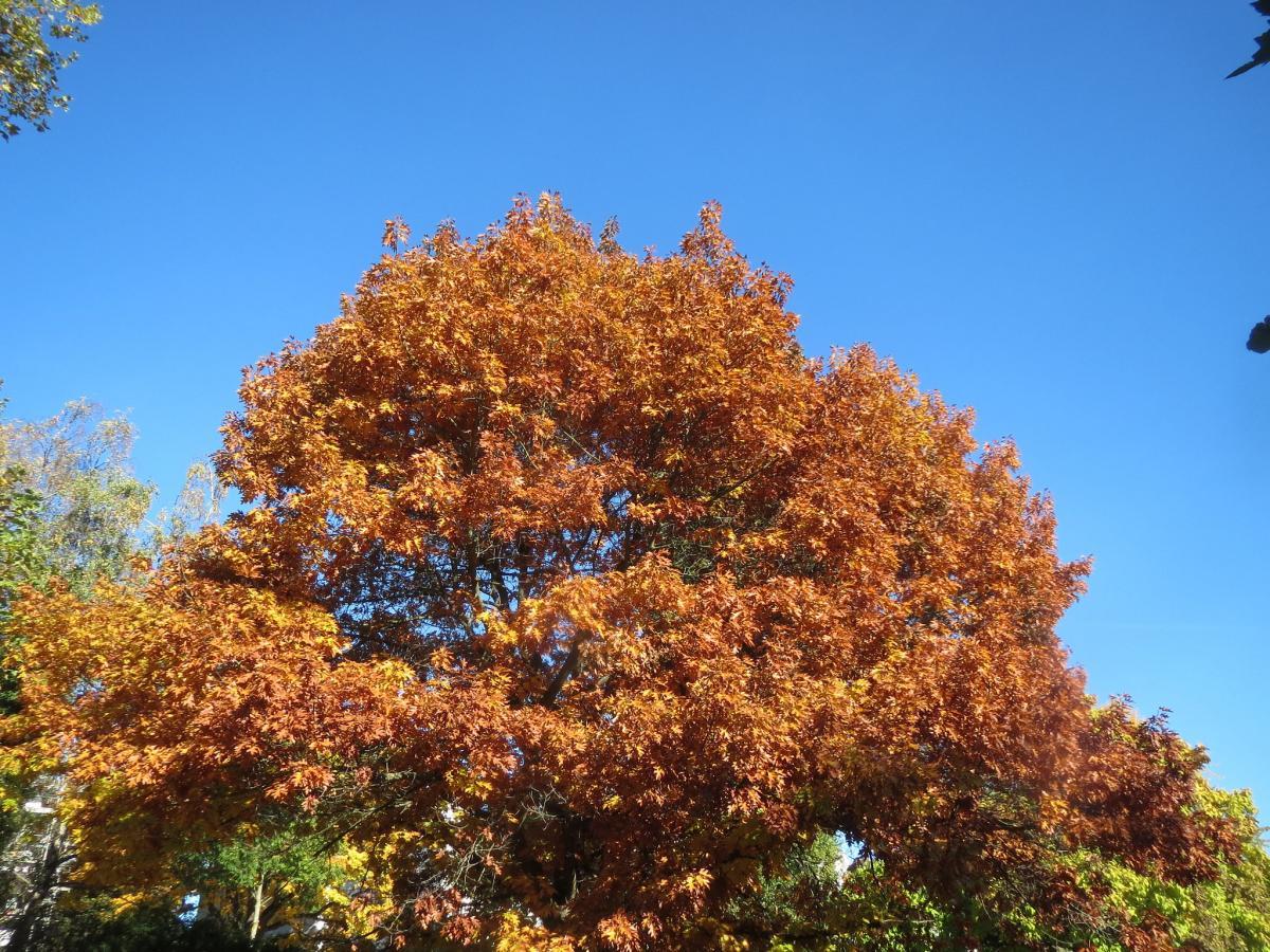 Vista del Quercus rubra en otoño