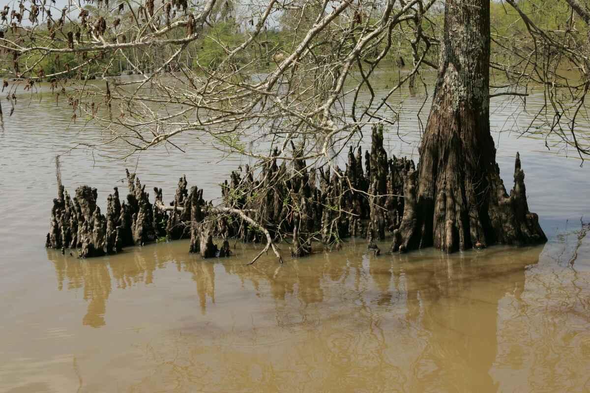 Los Taxodium producen raíces aéreas