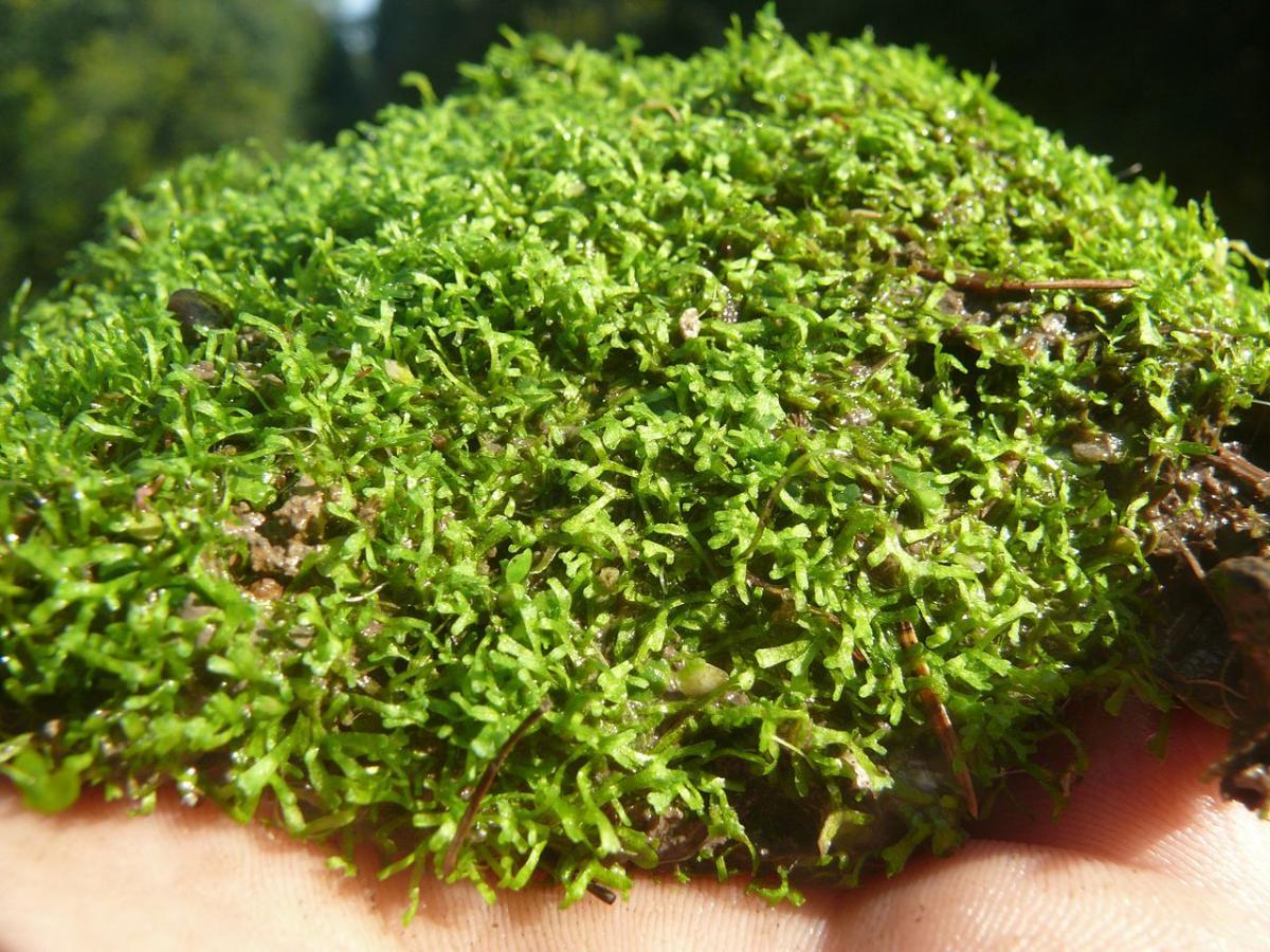 La Riccia es una planta herbácea acuática