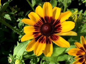 Las flores de las Rudbeckia hirta son de dos colores