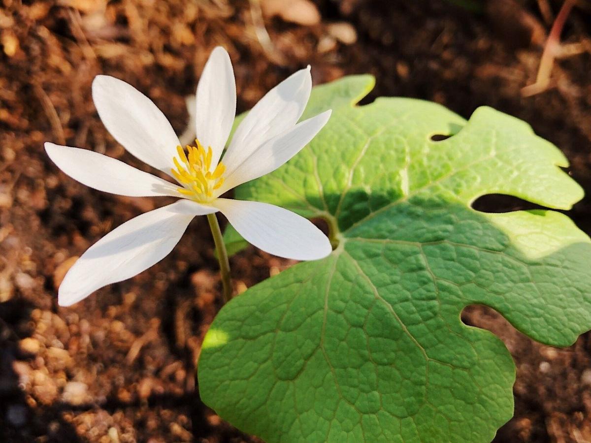 La sanguinaria es una hierba que florece en primavera