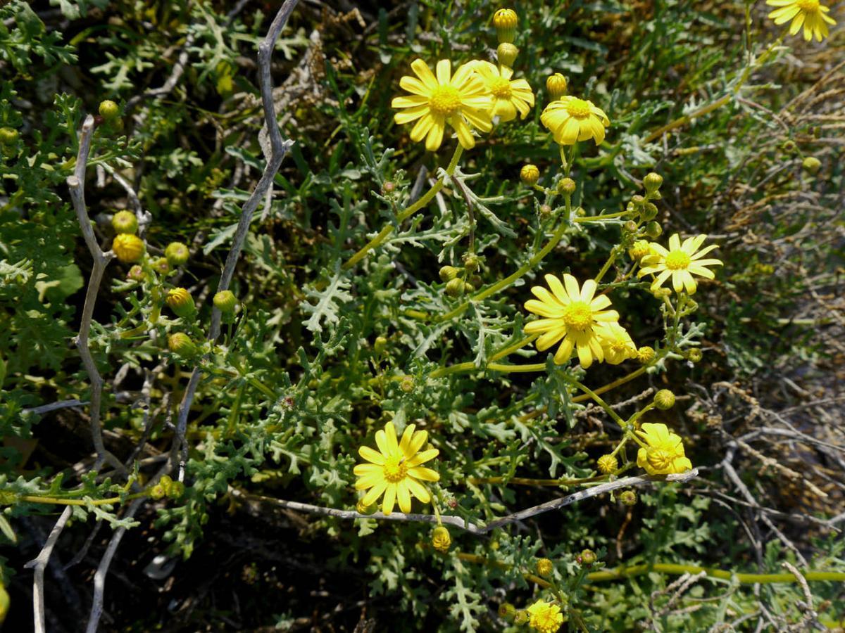El Senecio glaucus tiene flores amarillas