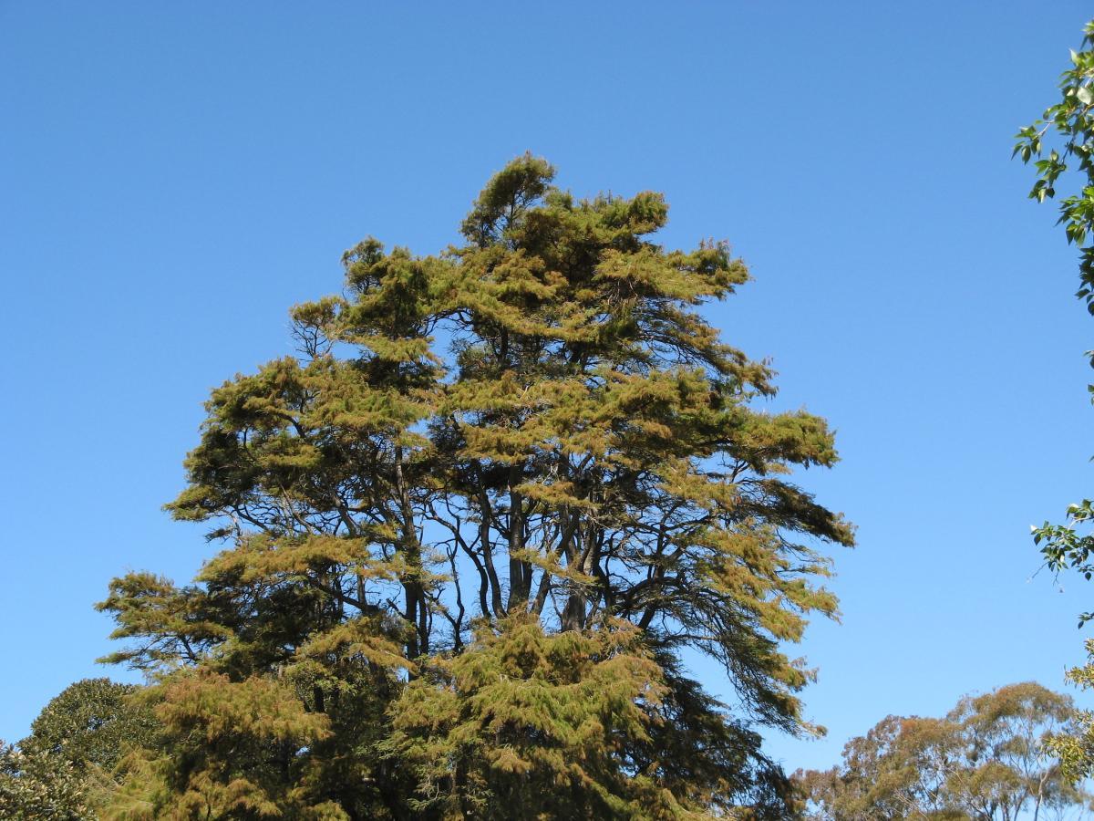 El Taxodium es un árbol de tipo conífera
