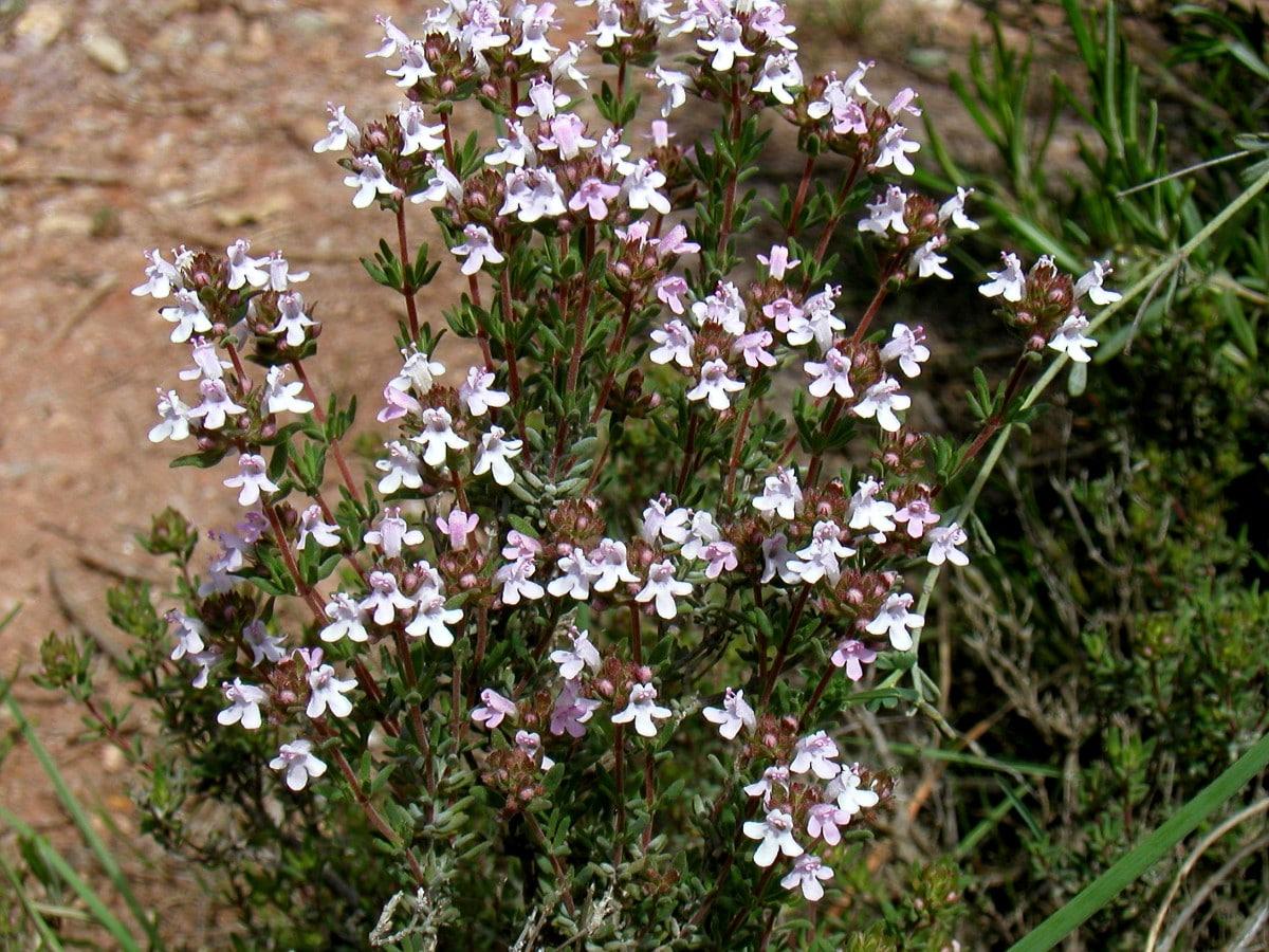 El tomillo es una hierba que se puede incluir en el jardín aromático