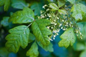 El Toxicodendron es una planta muy peligrosa