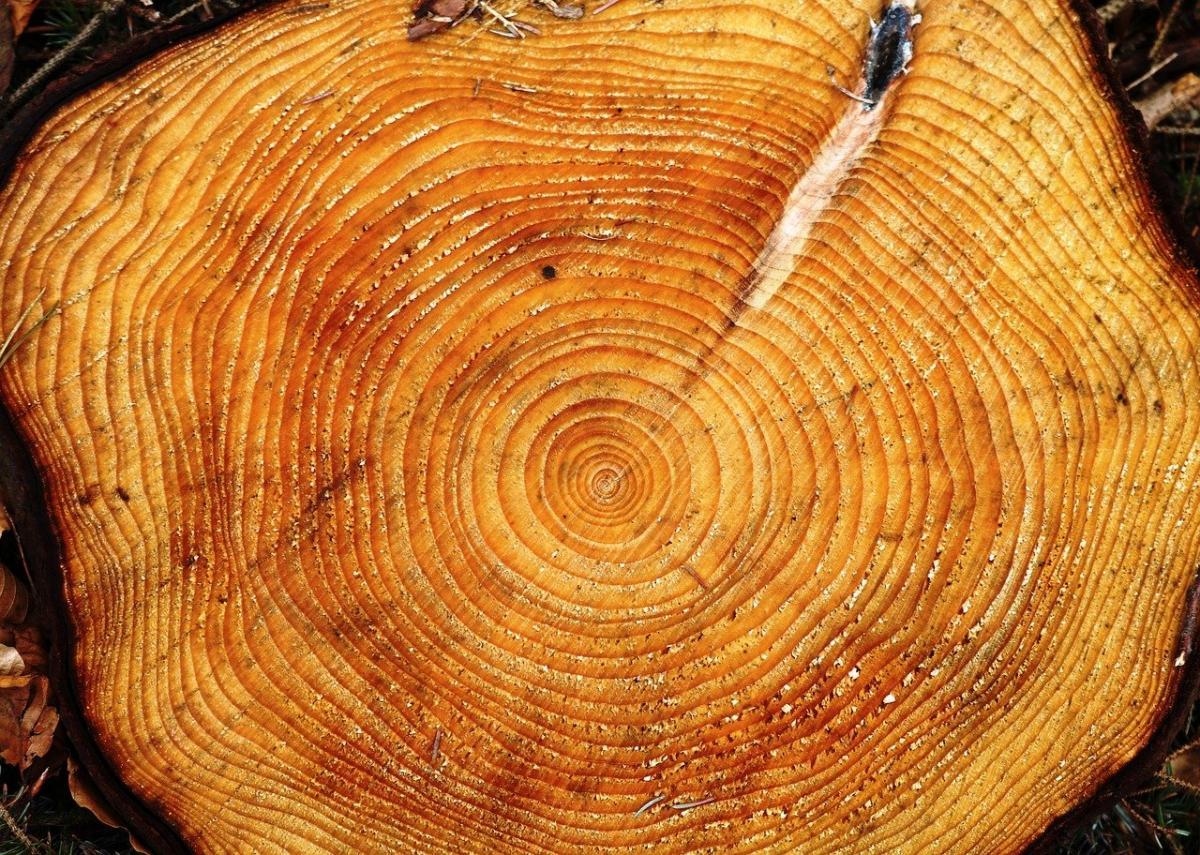 Es posible saber la edad de un árbol contando sus anillos