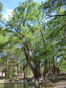 Vista del tronco del Taxodium mucronatum