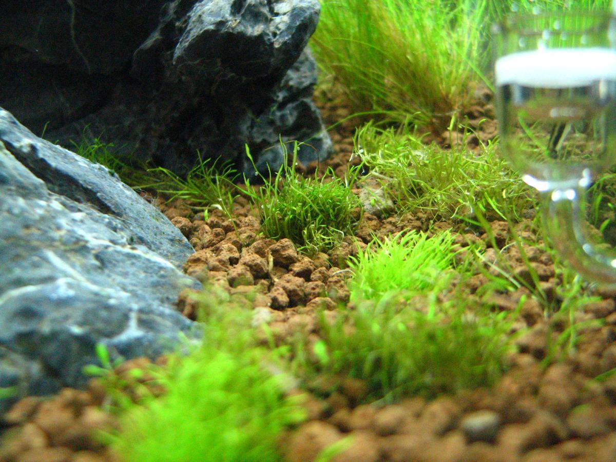 Vista de la Utricularia graminifolia