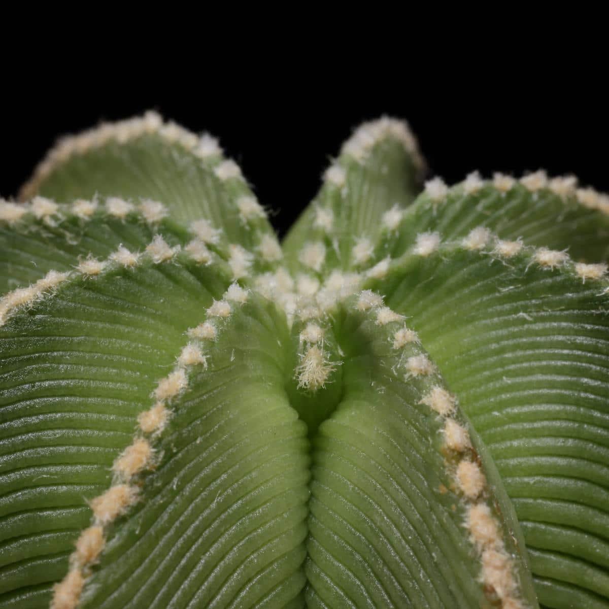 El Aztekium hintonii es un cactus de lento crecimiento