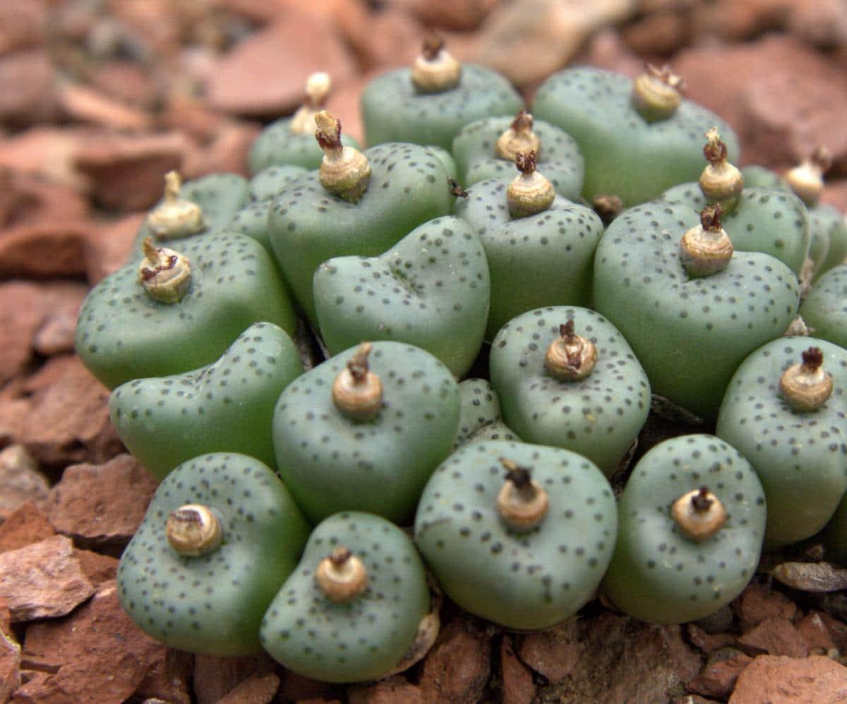 El Conophytum obcordellum es un muy singular