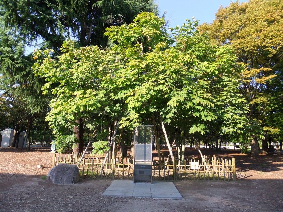 Firmiana simplex, un arbol que ofrece una gran sombra