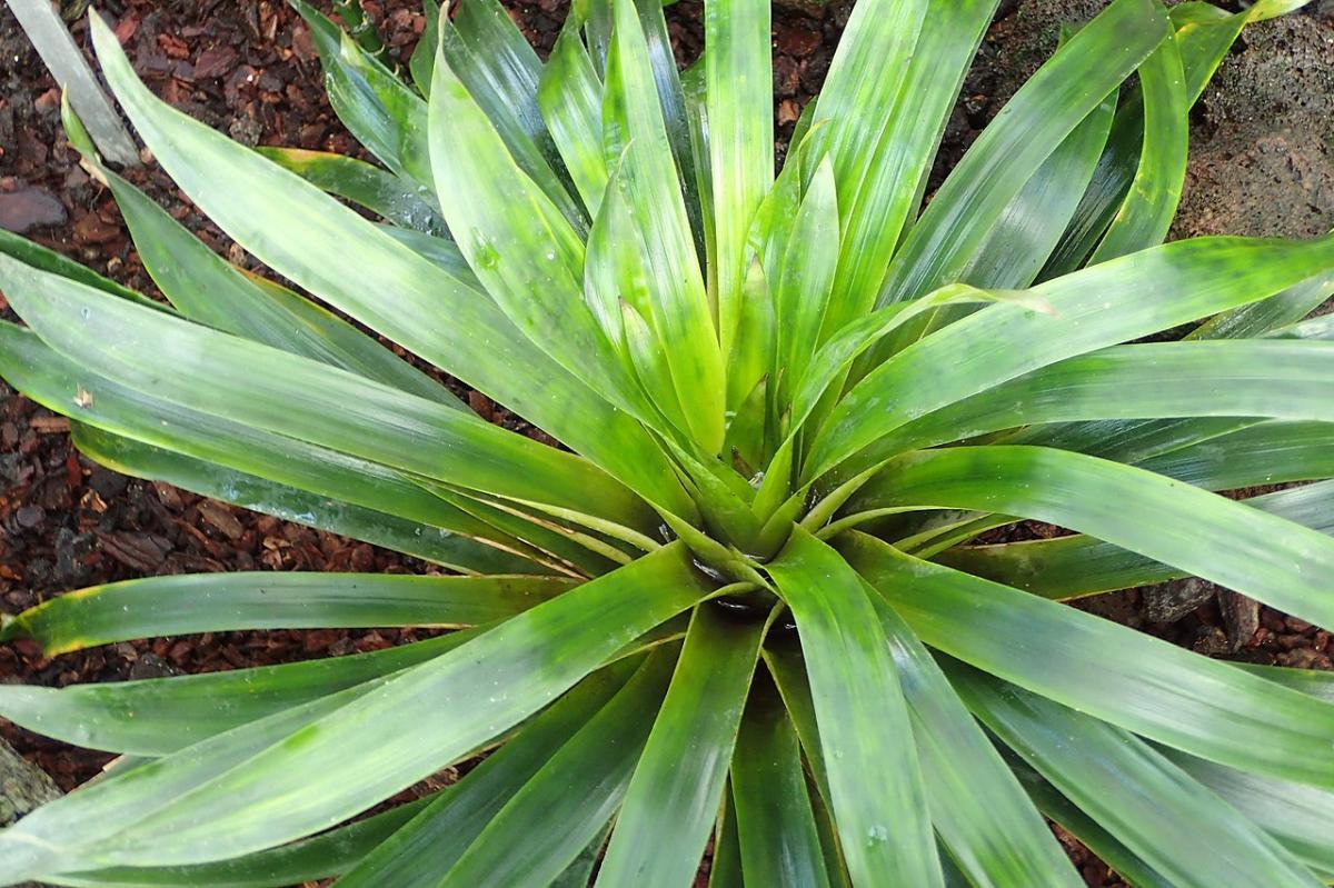 La Guzmania osyana es una planta epífita