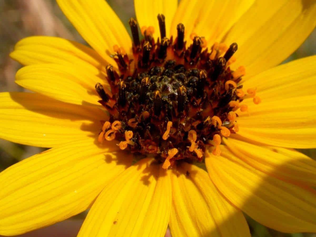 El Helianthus pauciflorus es una planta herbácea