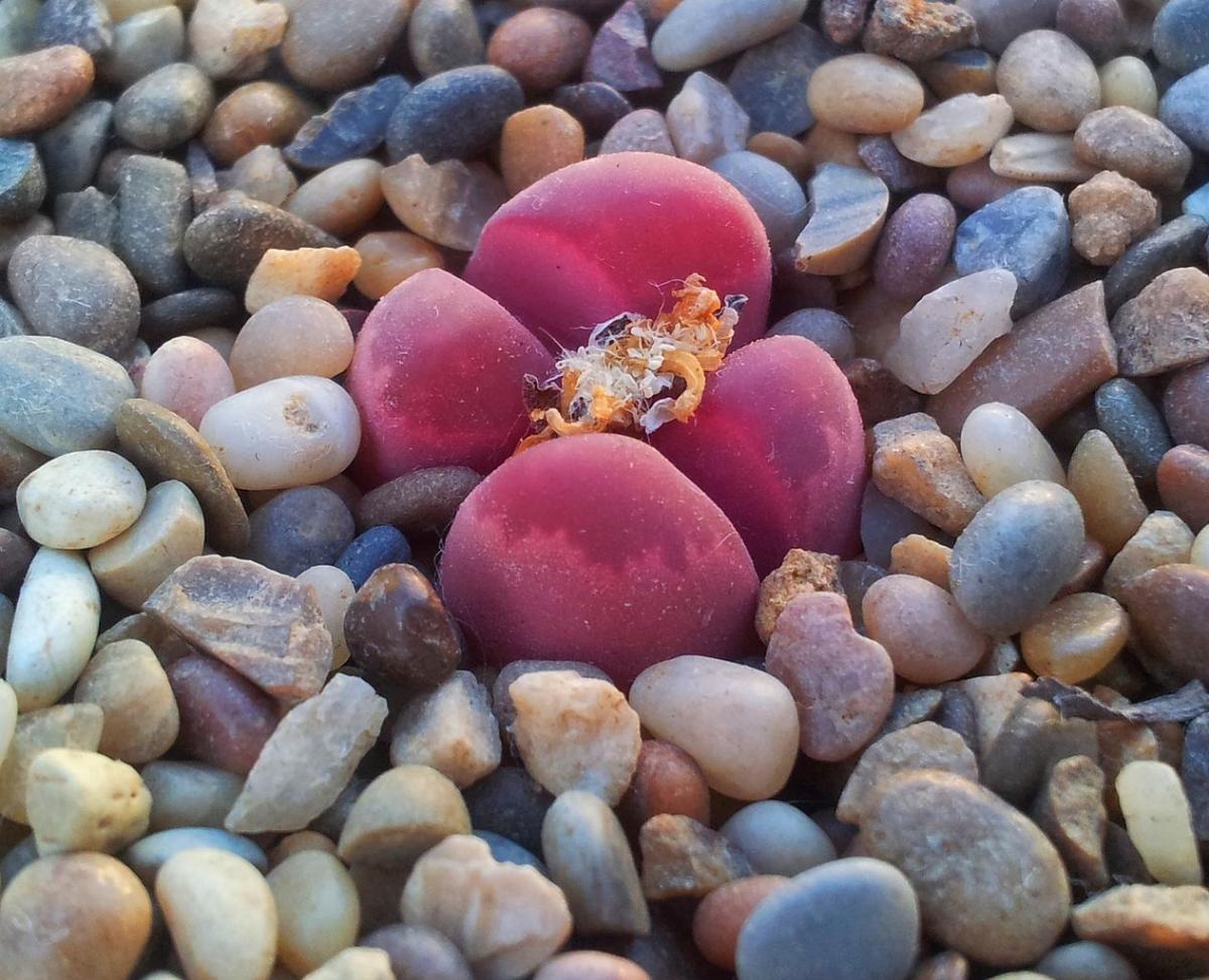 El Lithops optica 'Rubra' es una variedad de suculenta rara