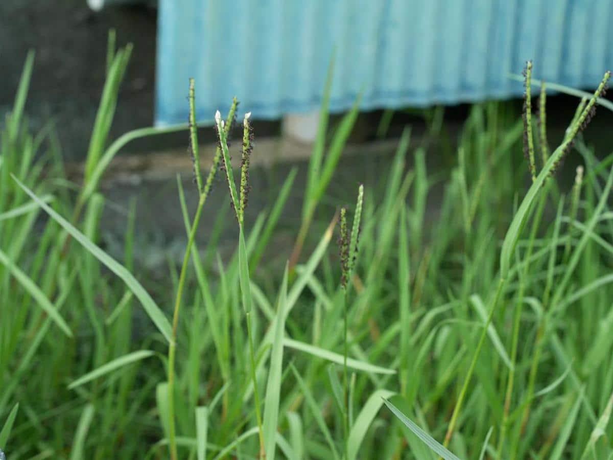El Paspalum distichum florece en primavera