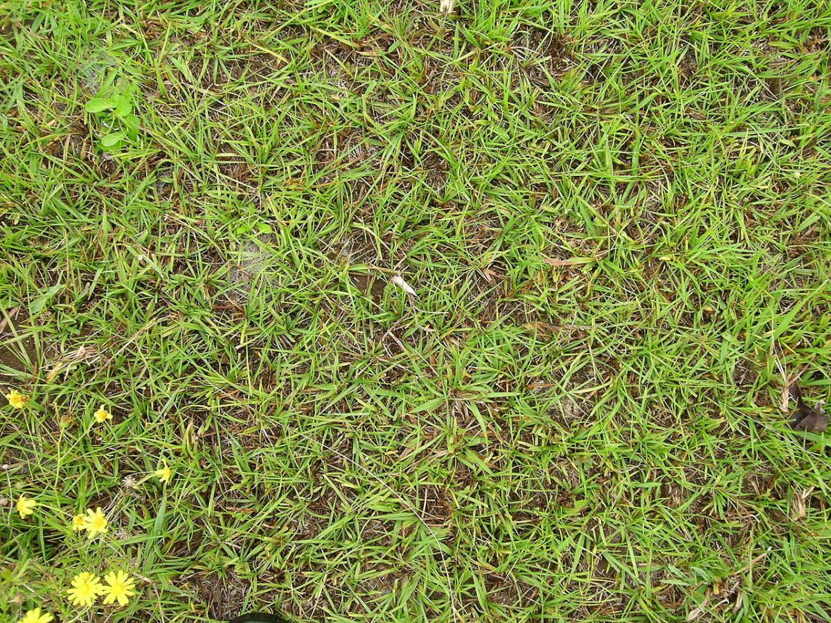 El Paspalum notatum es una hierba ideal para césped
