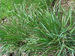 La hierba Paspalum es una gramínea