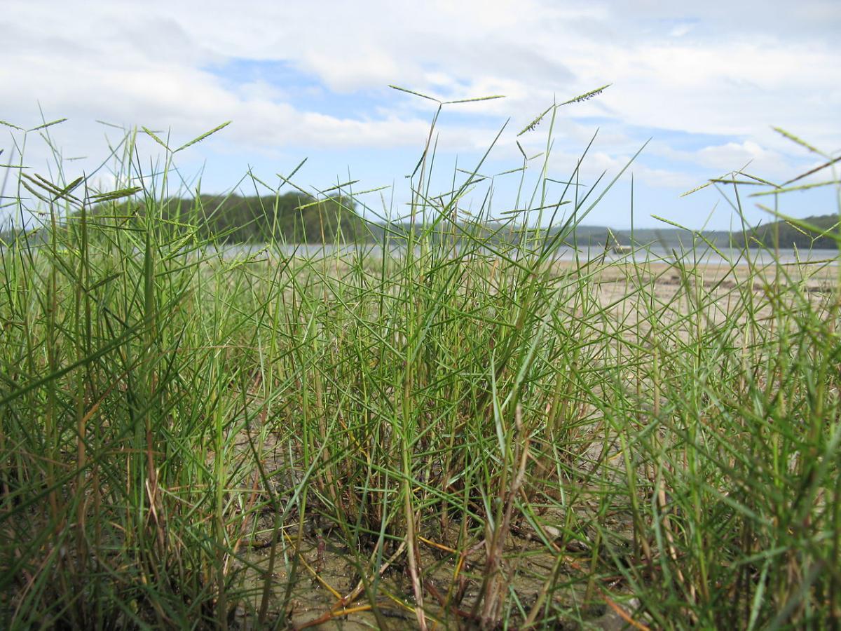 El Paspalum vaginatum es una planta perenne