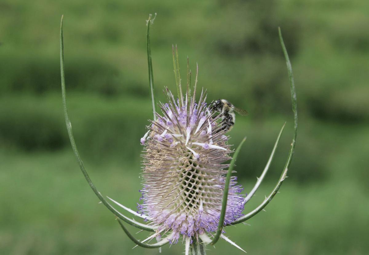 abeja en una flor de la Dipsacus fullonum