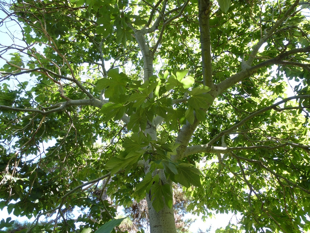 arbol con grandes hojas llamado Firmiana simplex