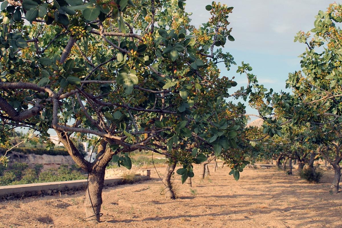 arbol del pistacho