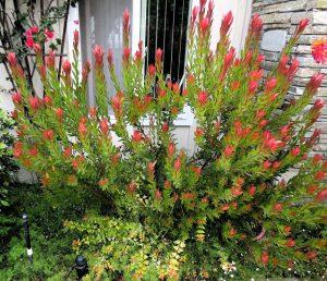 arbol plateado o Leucadendron