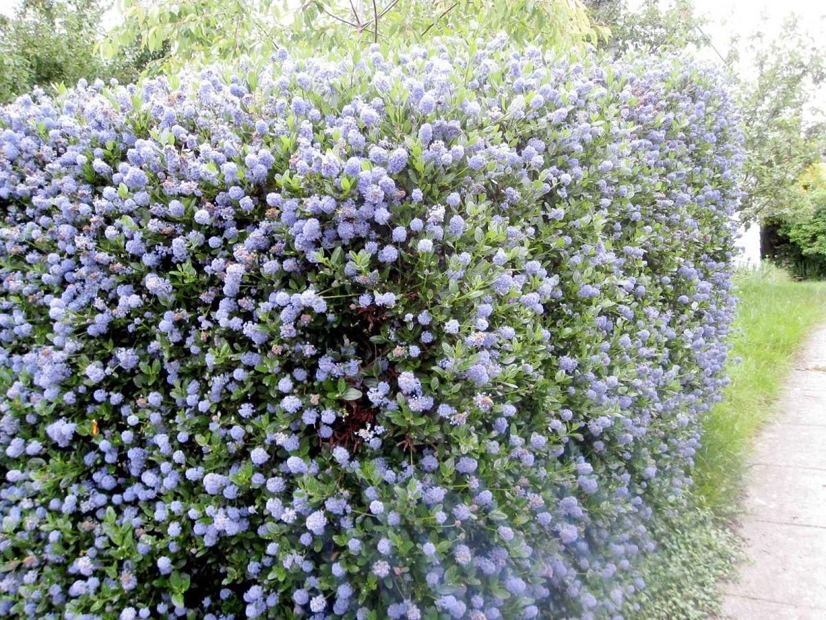 arbusto en forma de seto