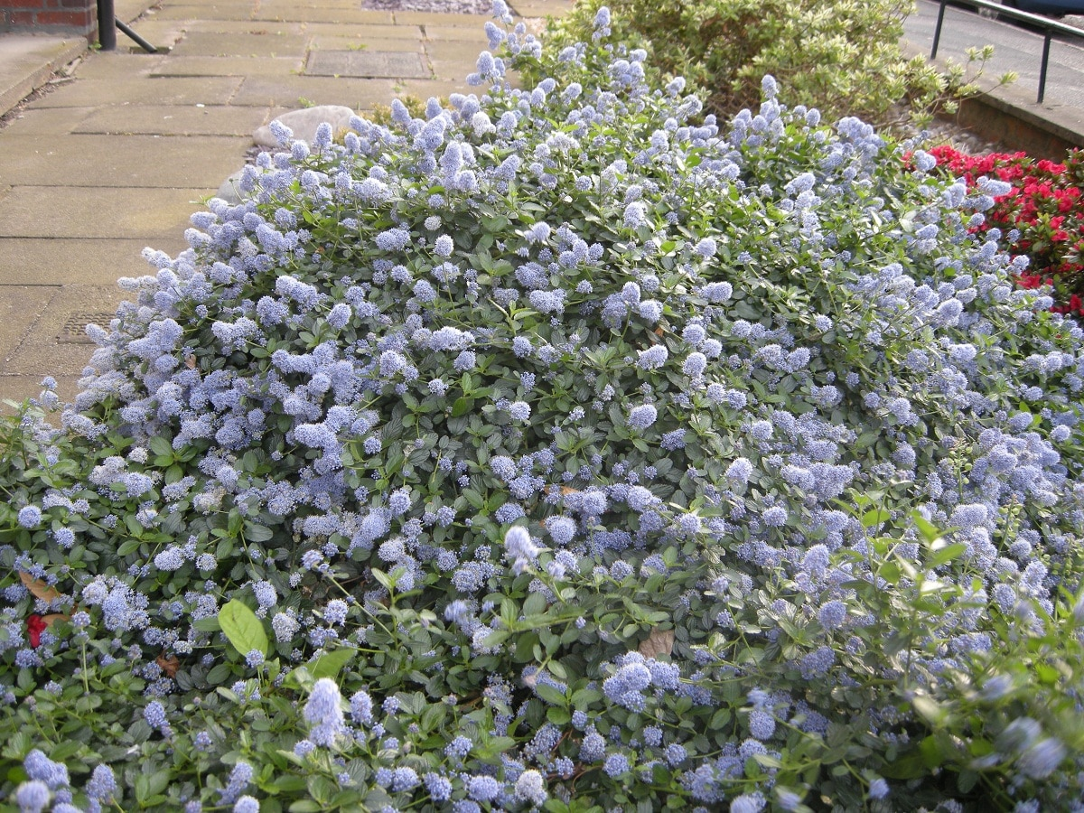 arbusto en jardin con flores lilas
