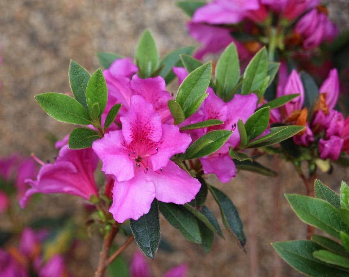 La azalea es un arbusto de flores preciosas