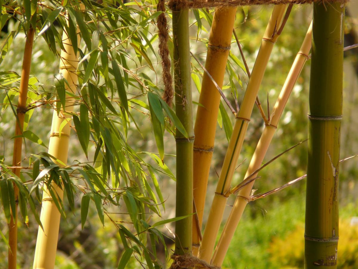 El bambú puede ser leñoso o herbáceo