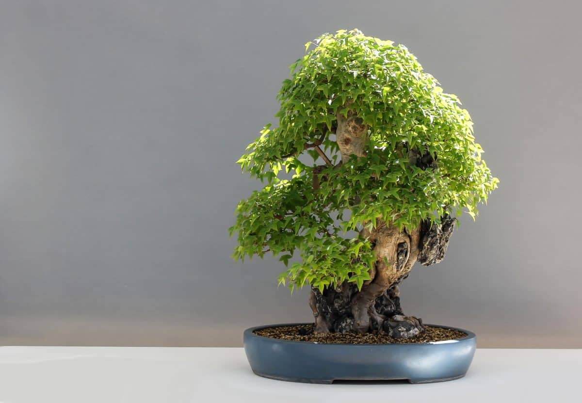 Los arces se adaptan bien como bonsais