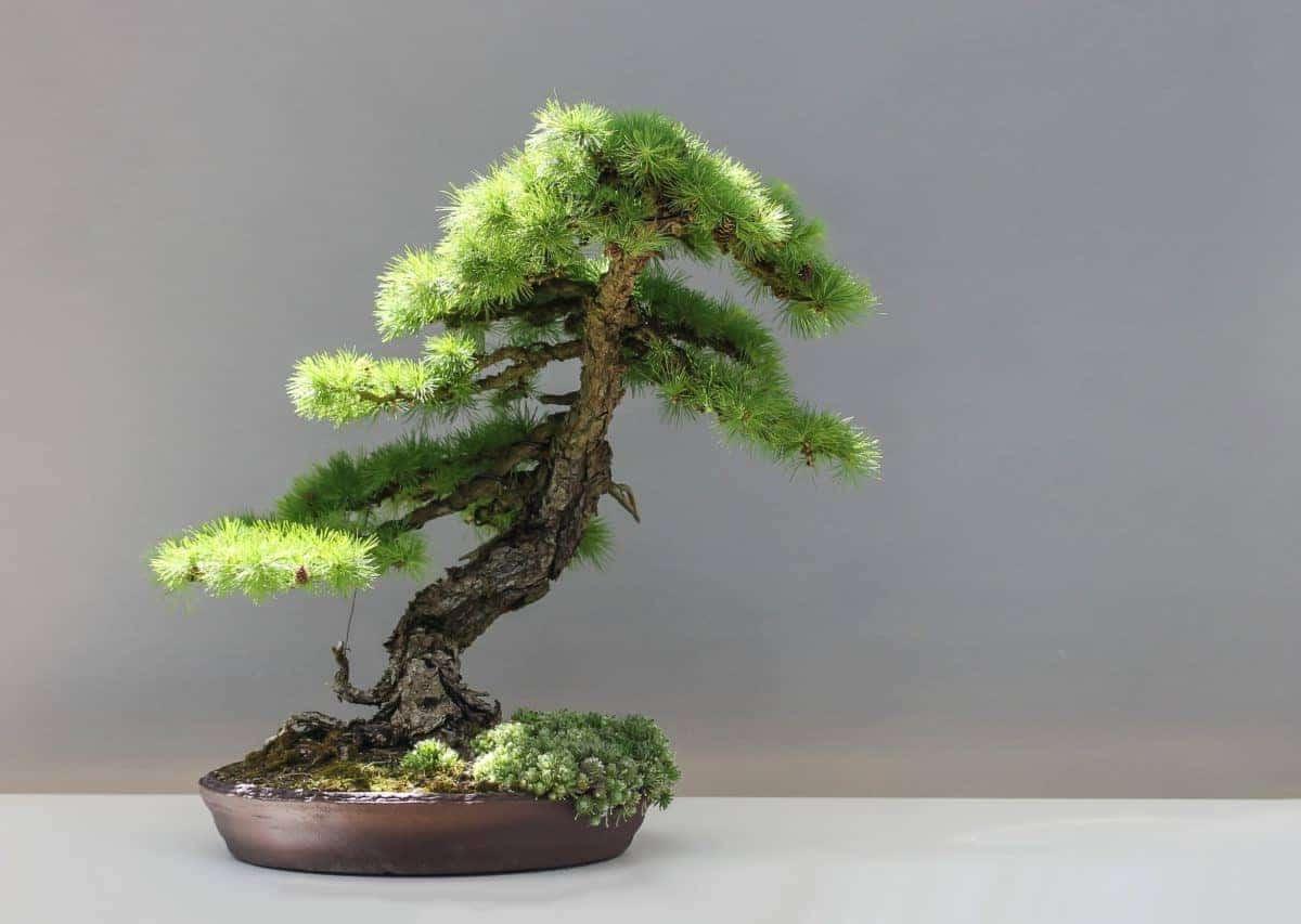 Los bonsais son plantas ornamentales