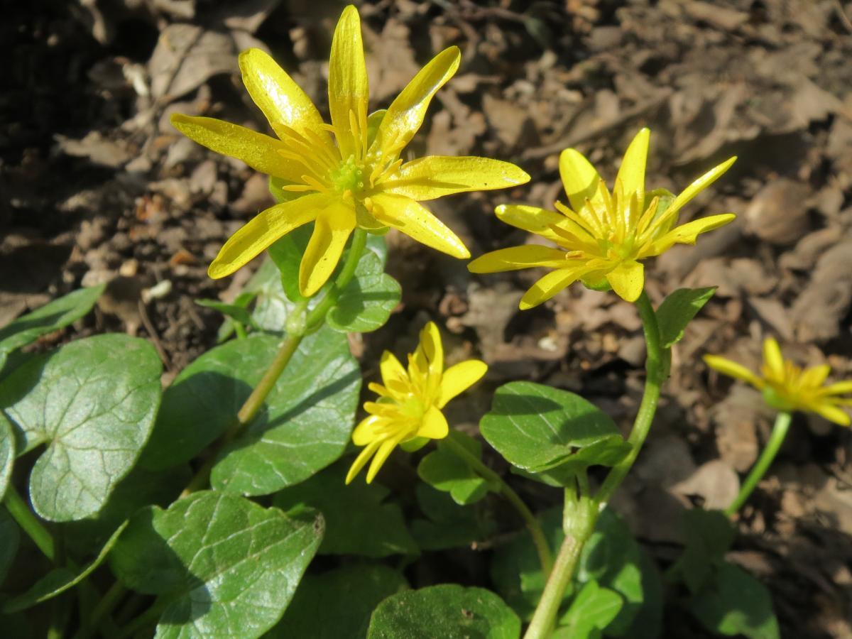 Las celidoneas menores producen flores amarillas