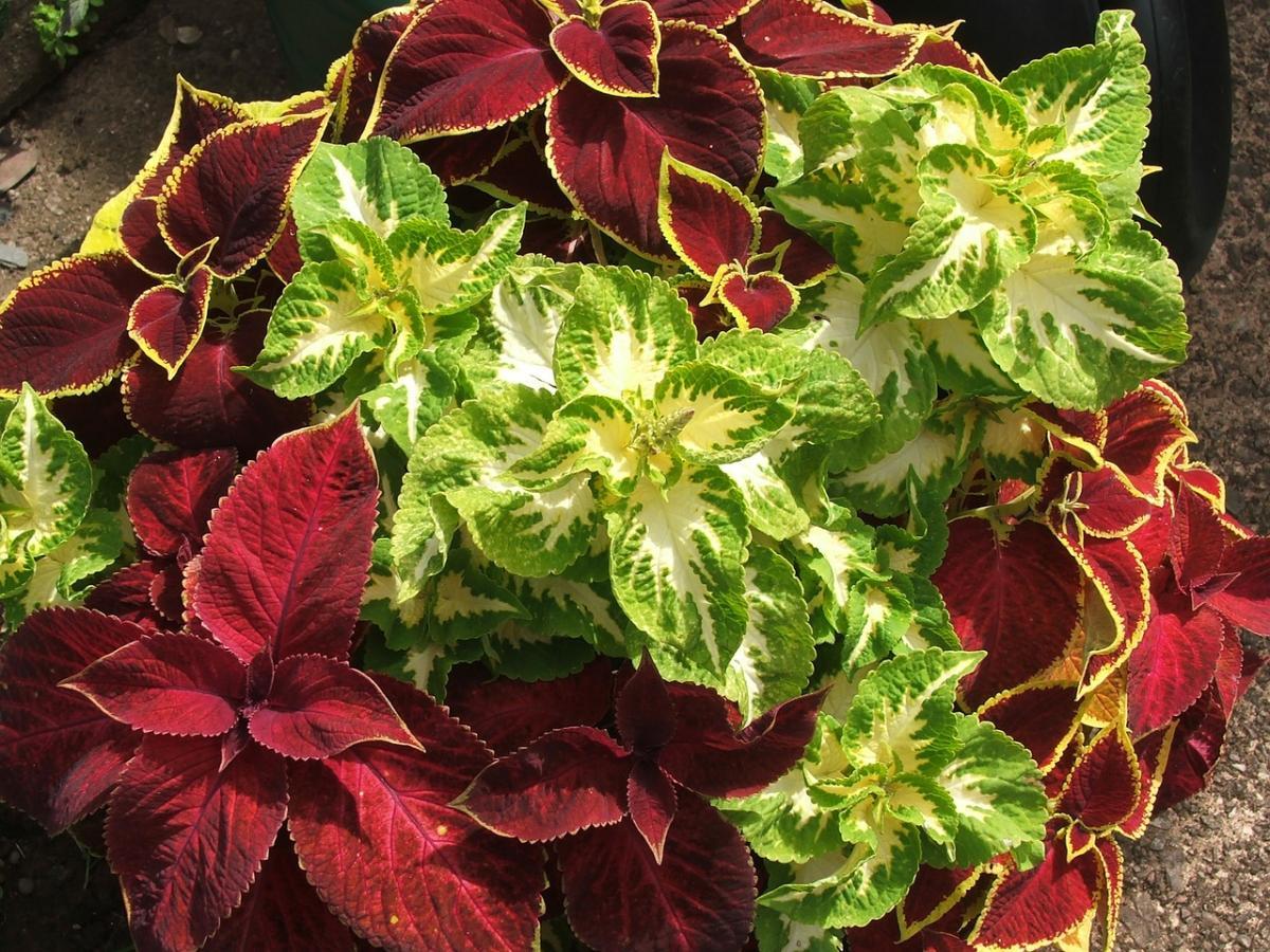 Los coleos tienen hojas de colores