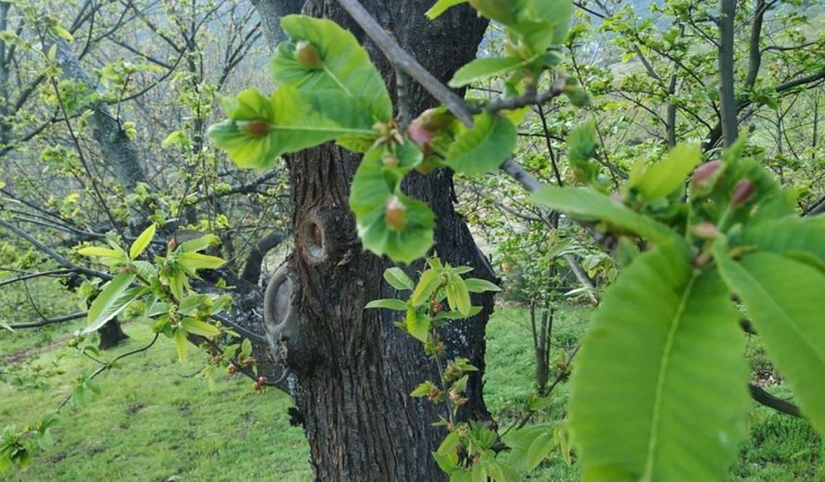 combatir la avispilla del castaño